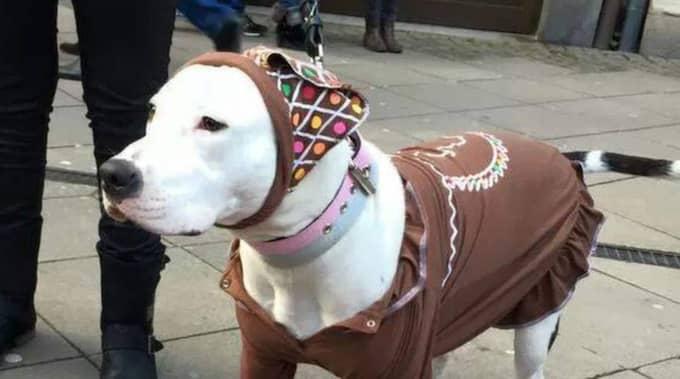 Pepparkakshund. Inget luciatåg utan en pepparkaksgumma, här ser Leia ut att trivas bra i sin roll i tåget. Foto: Karin Lundgren