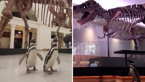Se när pingvinerna spanar in dinosaurierna