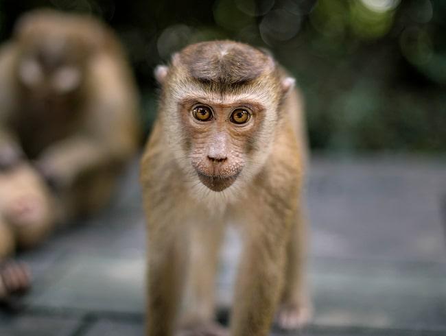 Men makakaporna ställer till problem på ön.