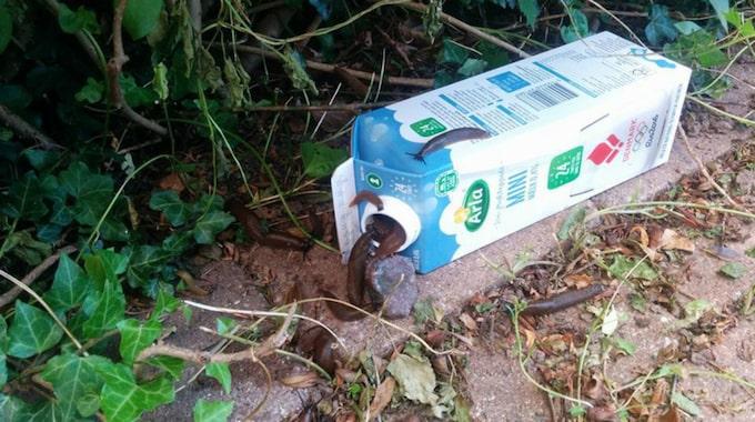 Den enkla, men smarta, mördarsnigelfällan består av en gammal mjölkkartong och en hemmagjord blandning av vatten, maltextrakt och sprit. Foto: Privat