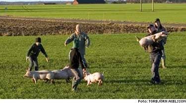 Personbil i krock med grisar