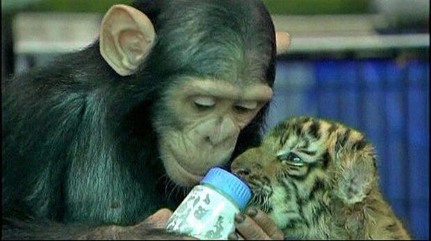 Schimpansen som matar tigrar