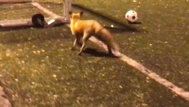 Här får fotbollslaget sällskap av räven