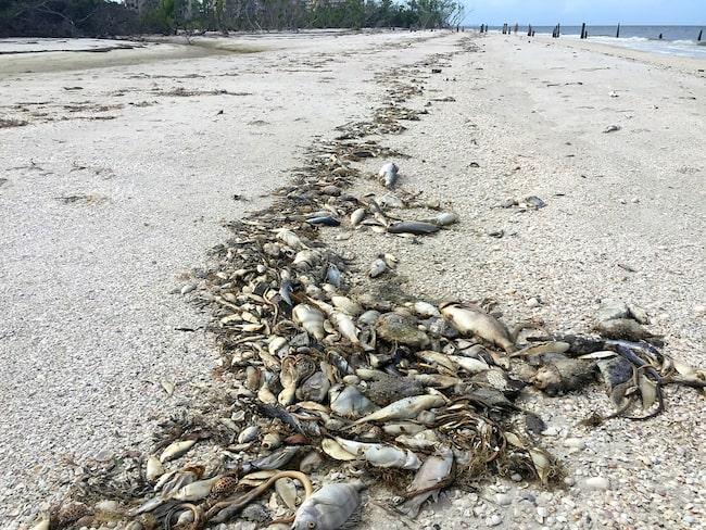Döda fiskar har sköljts upp på land i Fort Myers, Florida.