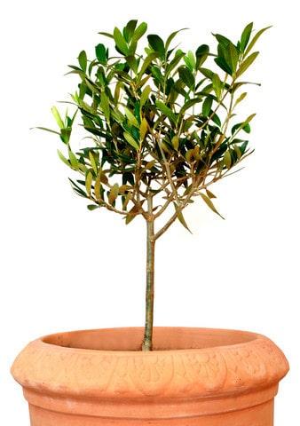 Olivträd i kruka inomhus är hetare än någonsin.