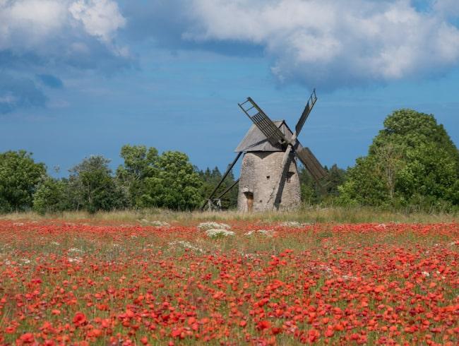 <span>Vackra vallmofält och väderkvarn på Gotland.</span>