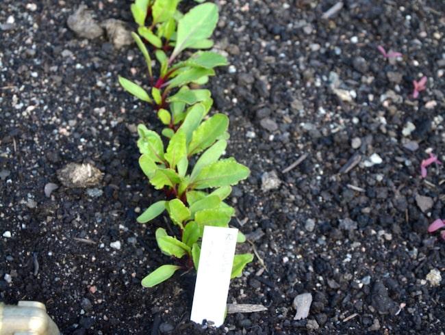 Odla på friland. Innan plantorna klarar de tuffa livet utomhus måste de avhärdas. Vissa grönsaker kan också med fördel sås direkt i frilandet, men då måste jorden och luften ha blivit varmare.