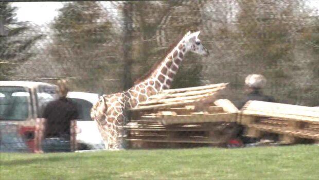 Giraffungen Thabisa på rymmen