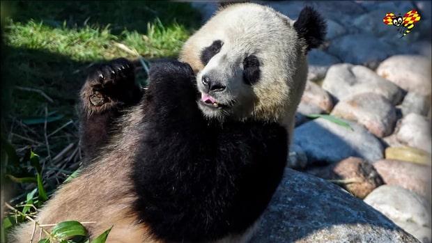 Här välkomnas Köpenhamns pandor av drottning Margrethe