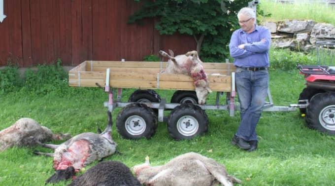 Bengt Andreasson i småländska Ålaryd fick i helgen sex får dödade av Gnosjövargen. Länsstyrelsens handläggare tror att vargen är på väg att bilda revir i området. Foto: Per Bunnstad