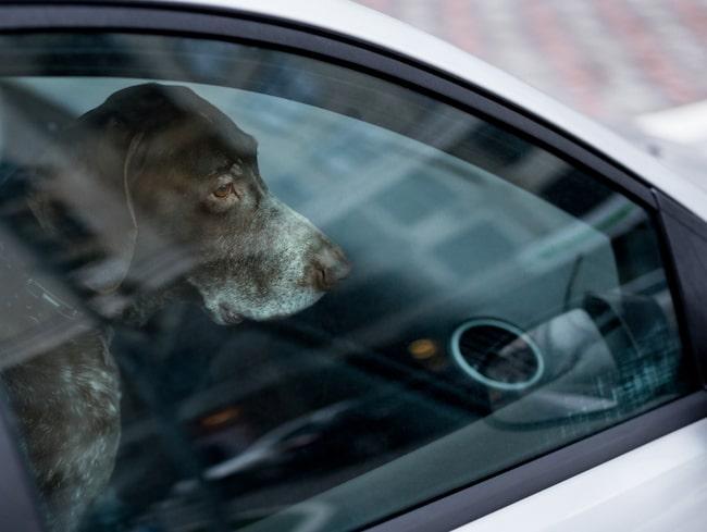 Hundar mår inte bra av att stängas in i varma bilar.