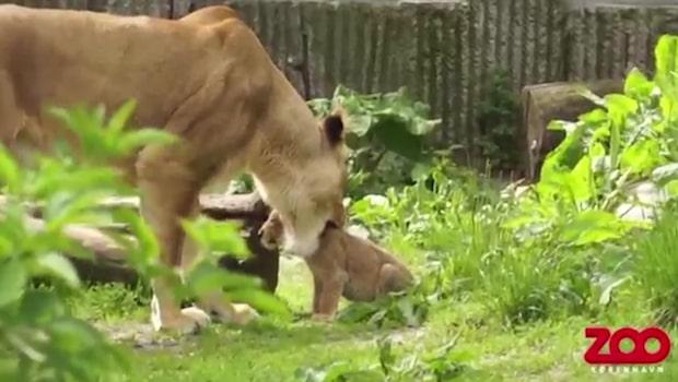 Lejonen vid Köpenhamns zoo matas med hästar