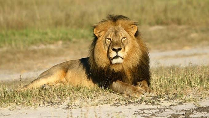 Cecil var 13 år när han lurades ut från nationalparken av Walter Palmer. Foto: ANDREW LOVERIDGE / ZUMAPRESS.COM ZUMA PRESS