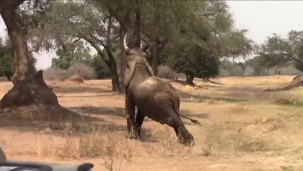 Safarigruppen hamnar mitt i bjässens morgongymnastik
