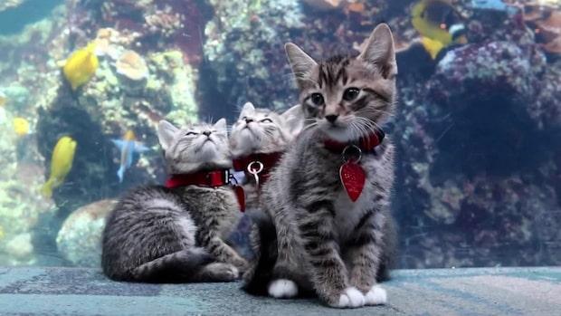 Här tar katterna över ett akvarium