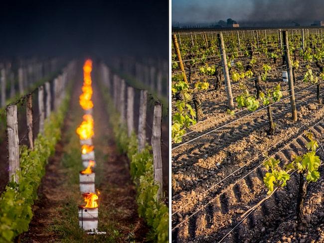 Saint-Émilions vingårdar drabbades allra värst. Många av kommunens vinodlare försökte desperat rädda skörden genom att placera oljefat med värmande eldar mellan rankorna.