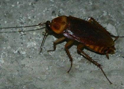 Låt inte resväskan ligga på golvet om du vill minska risken att ta med kackerlackor från semestern.