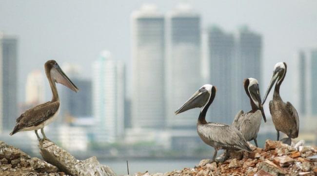 Ett gäng pelikaner vilar sig i solen med Panama City i bakgrunden.