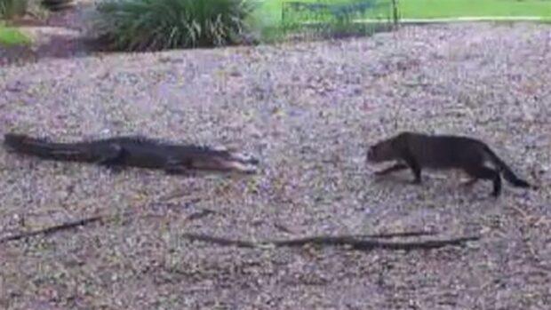 Huskatten öga mot öga med alligator