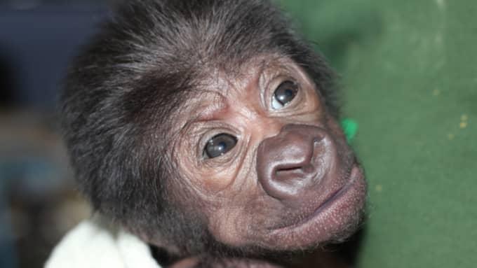 Den lilla gorillabebisen förlöstes med hjälp av en av landets ledande gynekologer och vägde knappt ett kilo Foto: Bristol Zoo / Handout / Epa / Tt