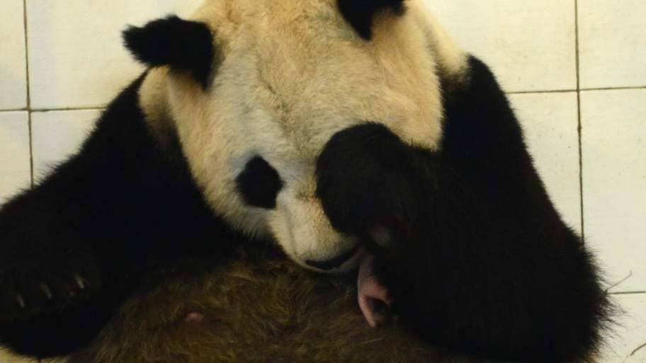 Babylycka hos pandorna i kina