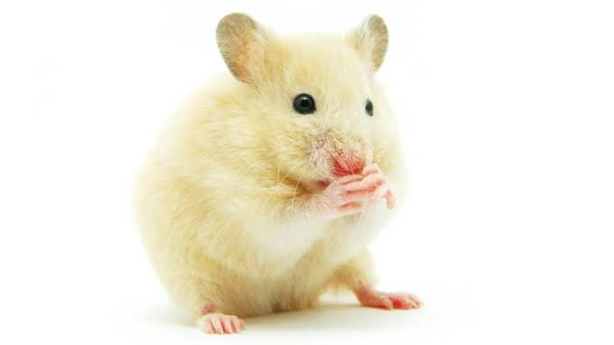 Hamster - aktiv på natten Hamstern är mjuk och söt och föredrar människors sällskap framför andra hamstrar. Den kan bli tillgiven och tam men rekommenderas inte som sällskap till små barn. En hamster kräver stor bur och är främst aktiv på natten. Den är ganska billig i inköp och drift och lever bara i snitt två tre år. Ett sällskapsdjur som kräver relativt lite omvårdnad. Passar för: Dig som söker en mjuk liten kompis och inte vill binda upp dig för alltför lång tid.