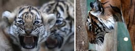 Två små tigerungar födda – av utrotningshotade arten