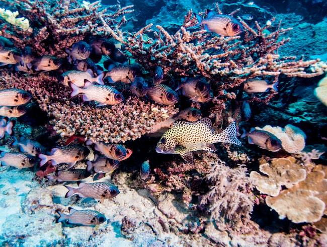 Enligt forskningen är kemikalierna i solskyddsprodukter ett hot mot världens korallrev.