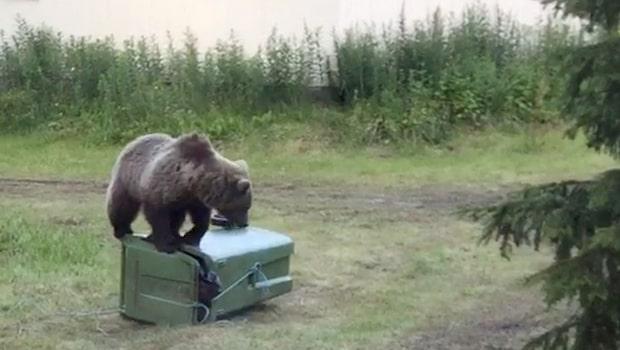Här länsar björnen soptunnan