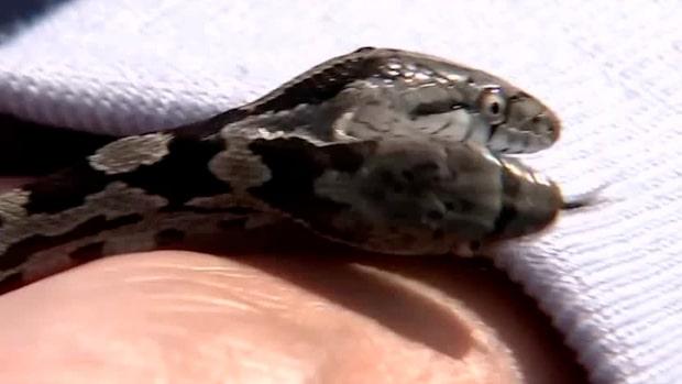 Jeannie hittade en orm –med två huvuden