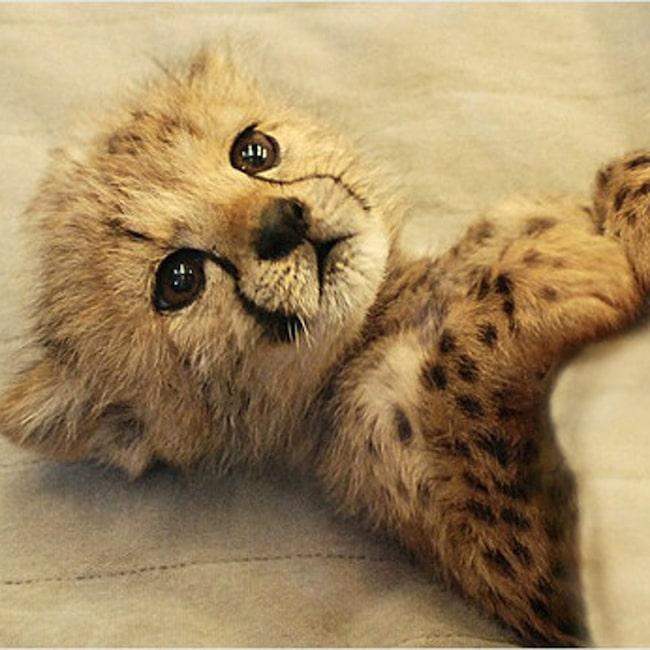 Näpen lite gepardunge på Cincinnati Zoo.