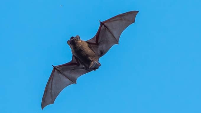 Lockar många. Fladdermössens flygfärdigheter har lockat många människor till Fyledalen i veckan. Foto: ANDERS GRÖNLUND / TOPNEWS.SE