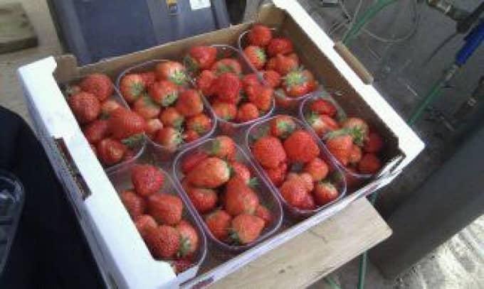 Årets första svenska jordgubbar skördas i dag utanför Helsingborg. Foto: Lars Jacobsen