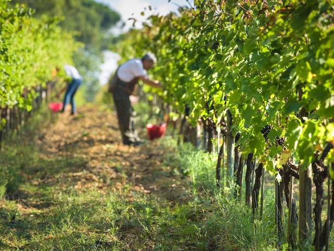 Sangiovese är Italiens mest odlade druva.