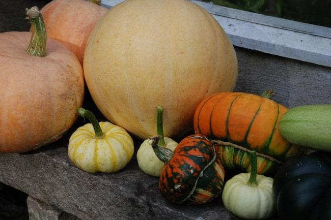 Stora & små. Familjen Cucurbita i olika färger och former.
