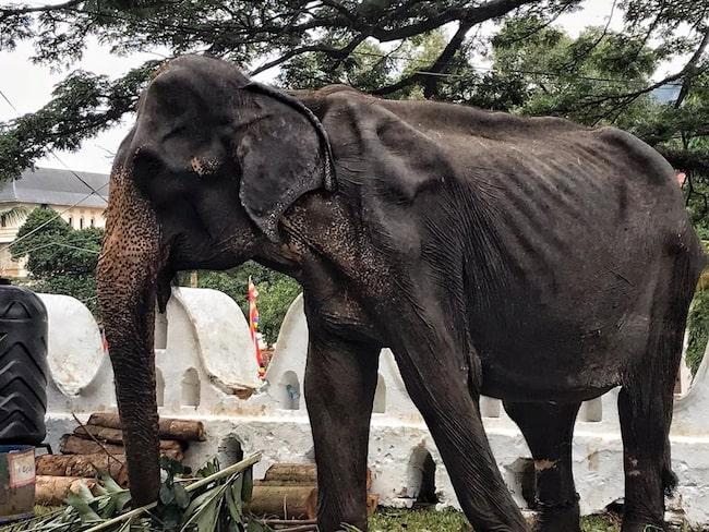 """""""Ingen ser tårarna i Tikiris ögon"""", skriver djurrättsaktivisten Lek Chailert, grundare av Save Elephant Foundation i Thailand om det vanvårdade djuret."""