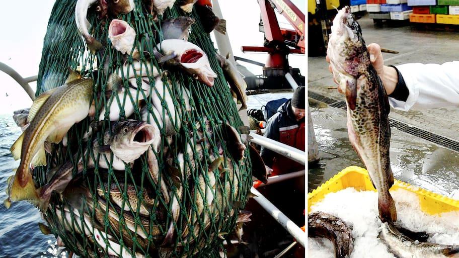 Torsken blir en allt ovanligare fisk i Östersjön. Fångsterna har
