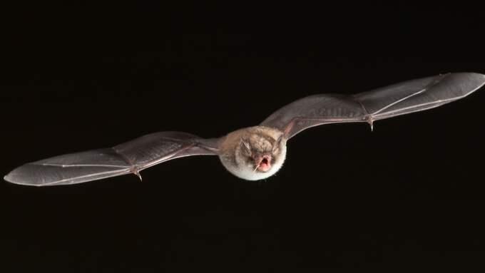 Fladdermössen flyger fort. I Fyledalen på Österlen stortrivs fladdermössen, nu flyger de även på dagtid och ovanligt sent på året. Just den här bilden togs dock på kvällen. Foto: ANDERS GRONLUND/STRIXPHOTO