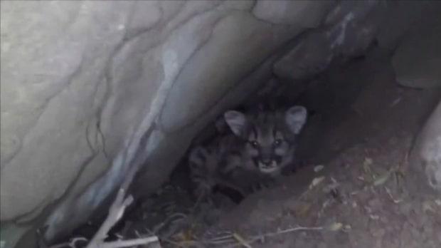 Förde ner kameran i hålan - hittade fyra söta pumaungar med blå ögon