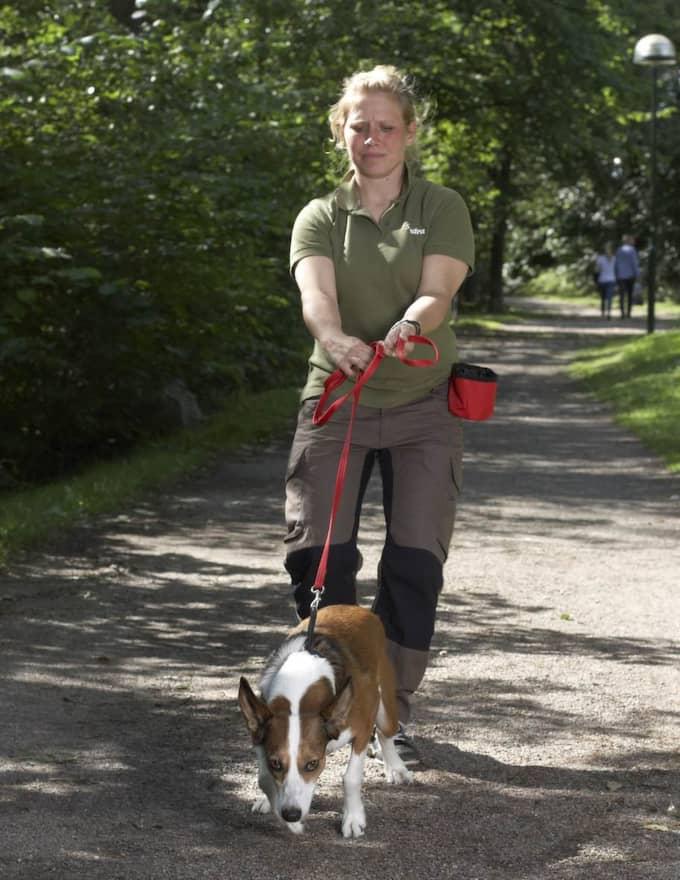 Fel: Du drar tillbaka kopplet och ger hunden något att dra emot. Hunden drar - angelägen om att komma fram till målet. Foto: Jörgen Hildebrandt