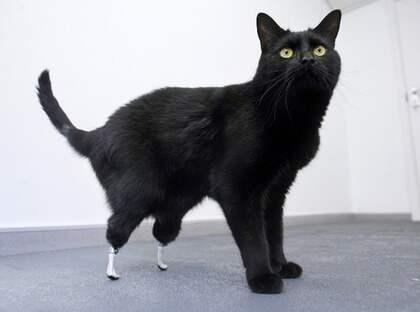 Oscar fick sina bakben avklippta i en skördetröska. Men nu har han fått ett par nya tassar med världsunik operation. Foto: Reuters