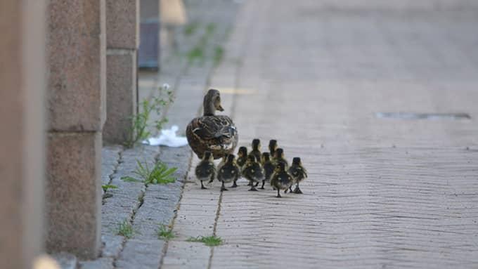 Mamman och hennes elva ungar har nu påbörjat sin promenad mot vattnet. Foto: Kristianstads kommun