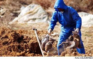Överallt kämpar man mot smittan - här gräver en kinesisk hälsoskyddsarbetare i skyddsutrustning ner misstänkt smittade kycklingar.