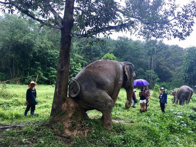 Parken beskrivs som en pensionärsklubb för elefanterna, som kan röra sig fritt under dagen och sover under skydd på natten.