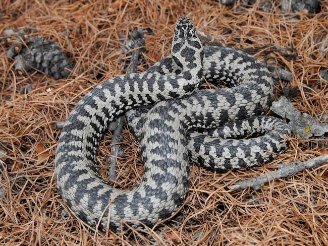 drömt om ormar