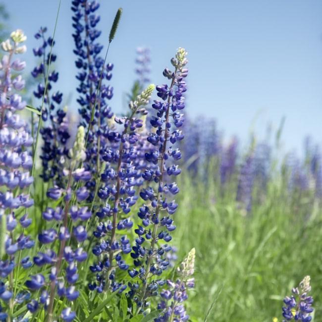 <span><strong>LUPIN. </strong>Finns numera i många färger, och doftar ljuvligt. Frösår sig lätt, och är mycket härdig. Går att odlas i nästan hela landet och blommar i slutet av juni. Om man klipper bort blomstjälken med fröställningen kan lupinen blomma en andra gång i slutet av sommaren. Trivs i mager, kalkfattig jord. Finns en risk att de tar över hela härligheten.</span>