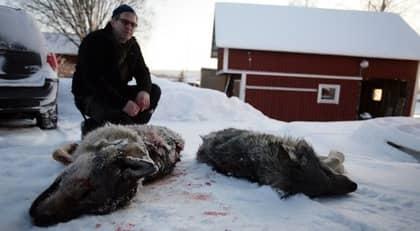 Hanse Hansson med två av de vargar som sköts under lördagen. Foto: Michael Bengts