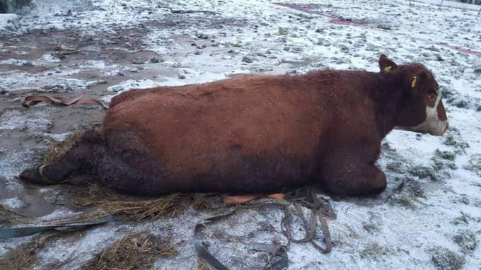 En ko hade brutit ett ben och den andra kon två ben. Foto: Privat