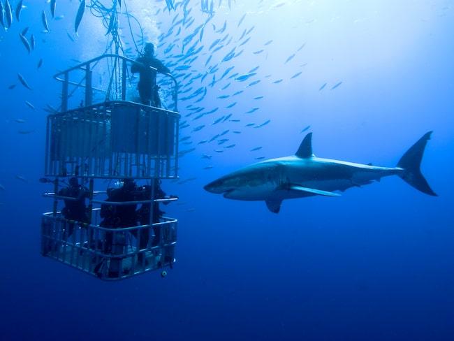 Vithajar påverkas av den populära dykningen, enligt ny forskning.