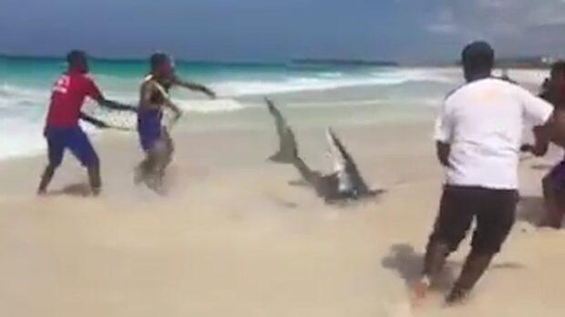 Nätraseri: Hajen dör för livräddarnas fåfänga